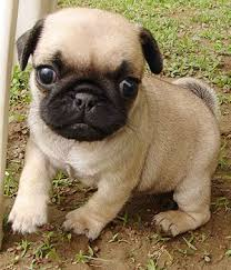 Dear Soraya, I bought a little pug..